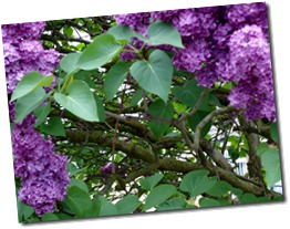 Soft focus on purple lilac