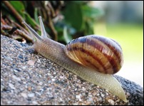 Common_snail