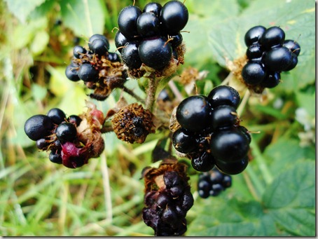 Blackberries up close and personal