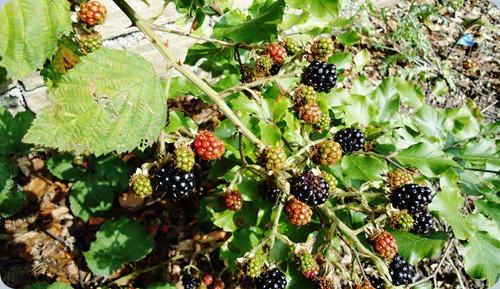Blackberries ripening in the sun