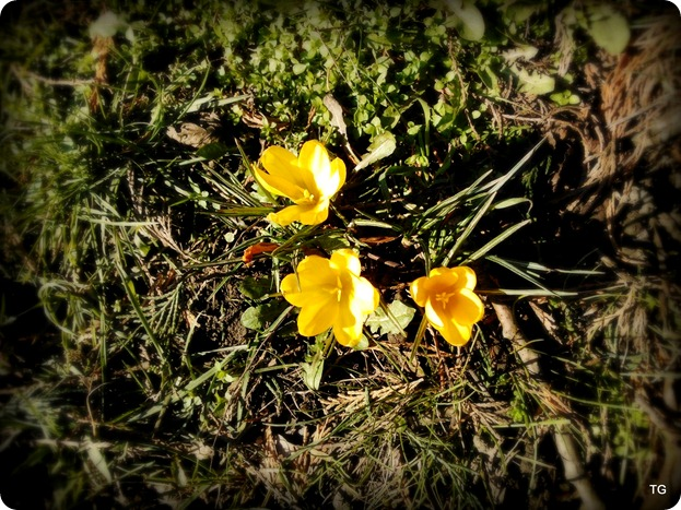 The first crocus